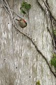 a red bellied woodpecker with its head pocking out of the nest hole poster