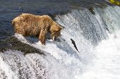 A grizzly bear catches a sockeye salmon in mid-air as it jumps up the Brooks falls to reach the spawning grounds in Katmai National Park. poster