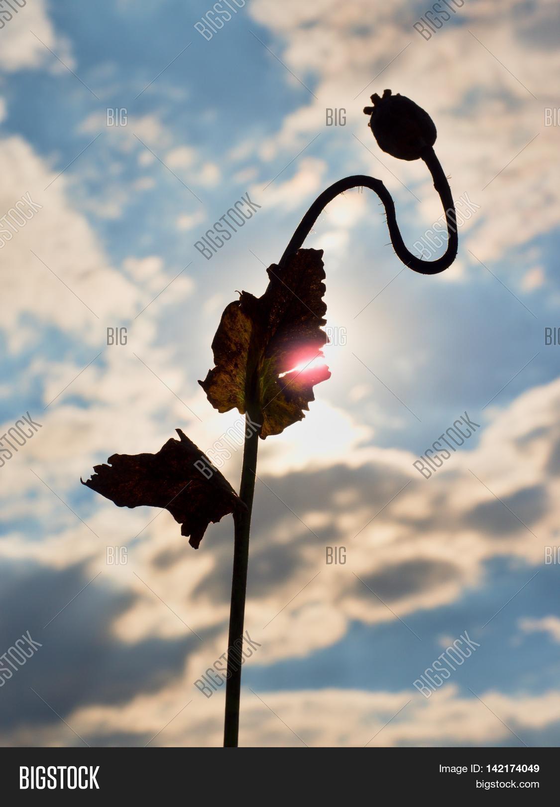Long Dry Stalk Poppy Image Photo Free Trial Bigstock