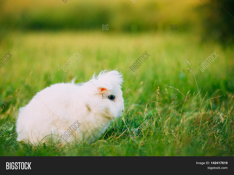 Decorative rabbits: breeds, their description and photo. Domestic dwarf rabbits: description, care, content 18