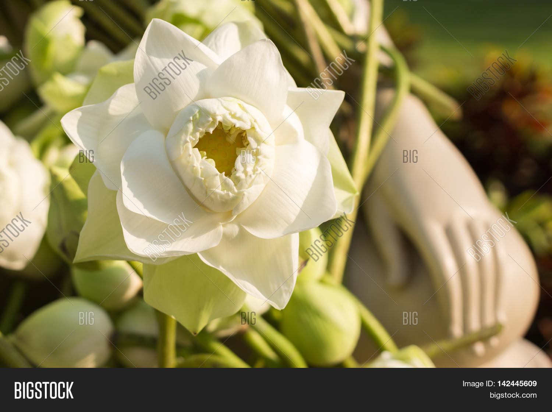 White Lotus Flower Image Photo Free Trial Bigstock