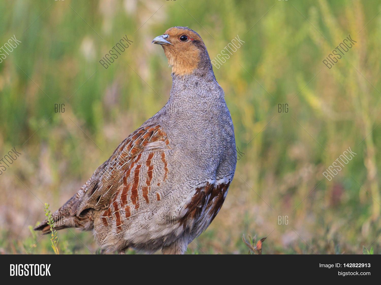 Gray partridge bird: description and photo 47