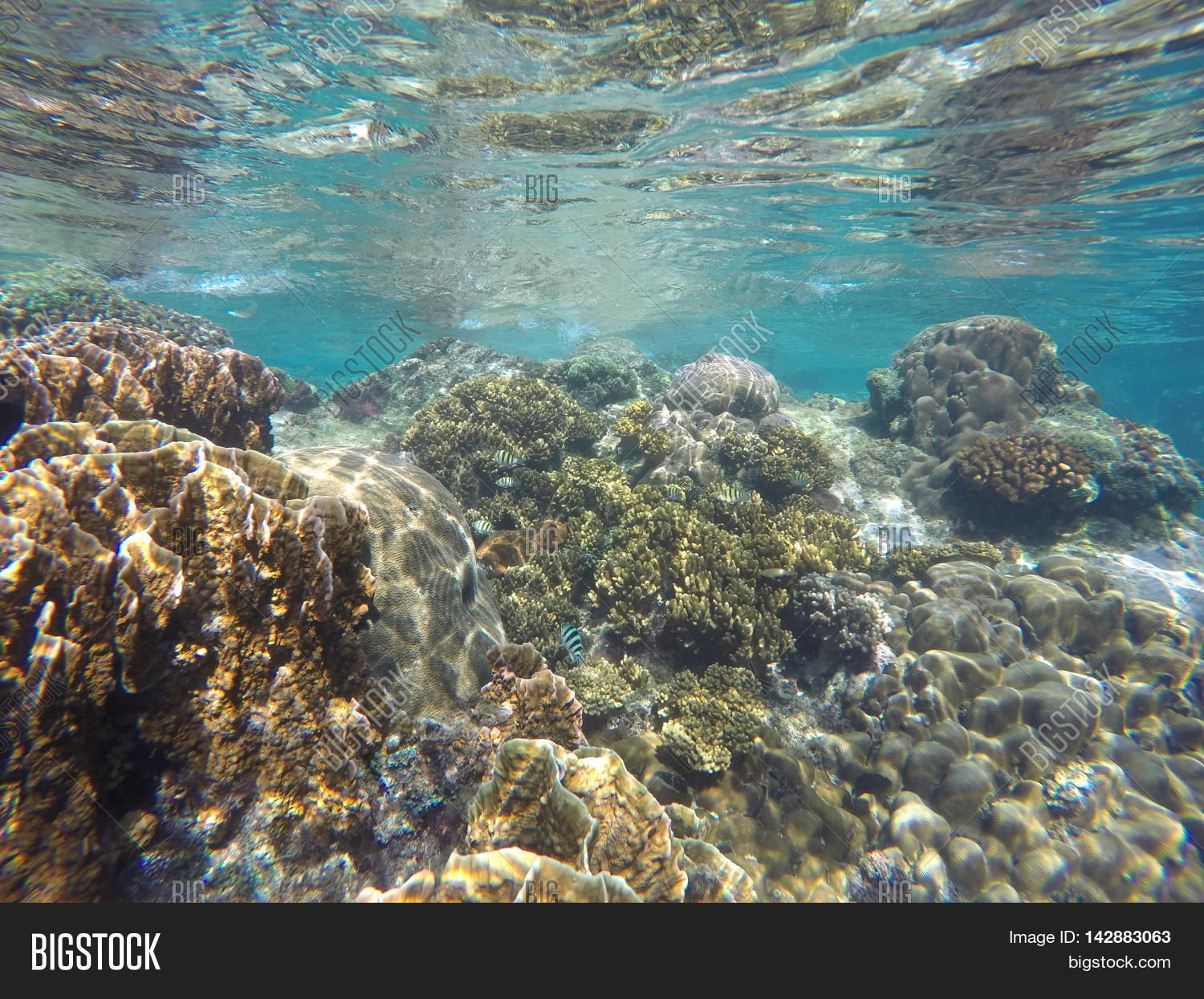 real underwater world. Contemporary World Coral Reef Of Tropical Sea During Low Tide Coral Close To Water Surface  Underwater In Real World