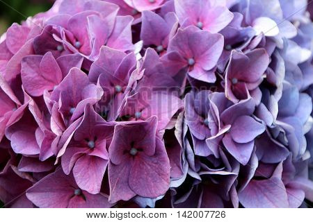 a close up  of the flowers hortensias