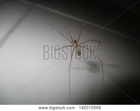 Cellar spider (Pholcus phalangioides) with seven legs