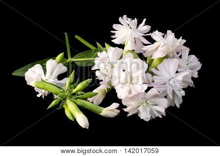 Medicinal plant Saponaria officinalis (common soapwort bouncing-bet crow soap wild sweet William soapweed) isolated on black background. Used in herbal medicine food and chemical industry