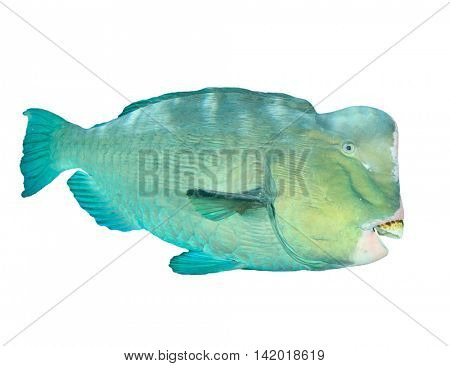 Fish isolated white background: Bumphead Parrotfish