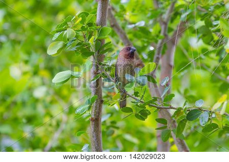 scaly breasted munia or spotted munia perching on branch in Thailand (Lonchura punctulata)