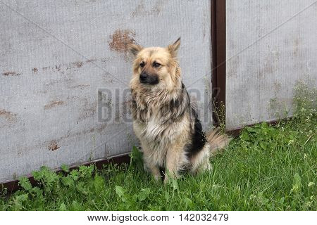 Yard dog sitting near the fence of his house. Pets