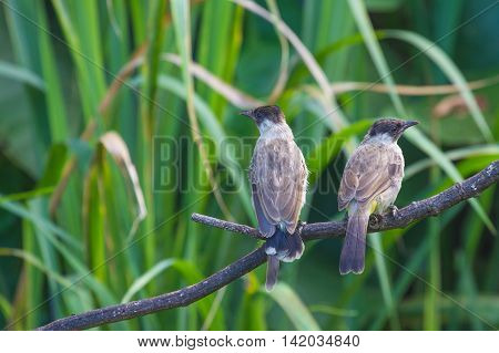 Beautiful Bird Sooty Headed Bulbul