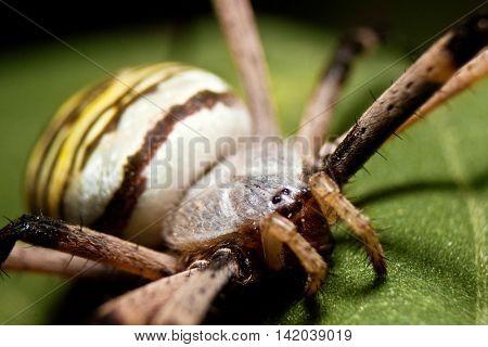 Wasp spider on a green leaf
