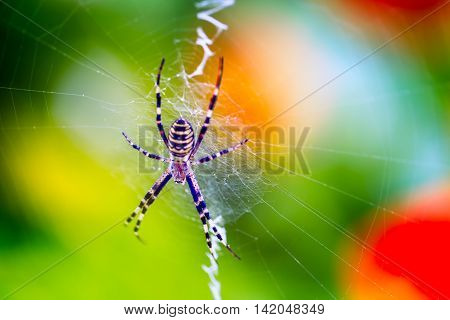 Tiger Spider Sitting On His Web