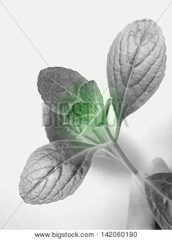 Citronella leaves in black, white and green color
