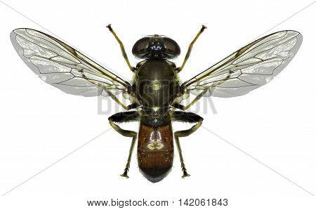 Hoverfly Xylota on white Background  -  Xylota segnis (Linnaeus, 1758)