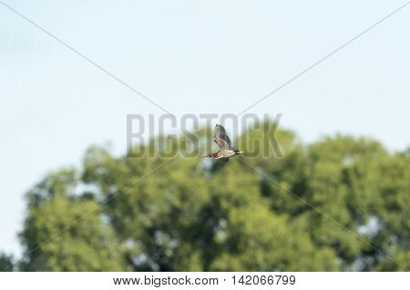 Green Heron flight trees background wings high
