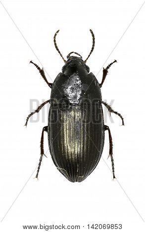 Seed-Eating Ground Beetle on white Background  -  Amara sp.