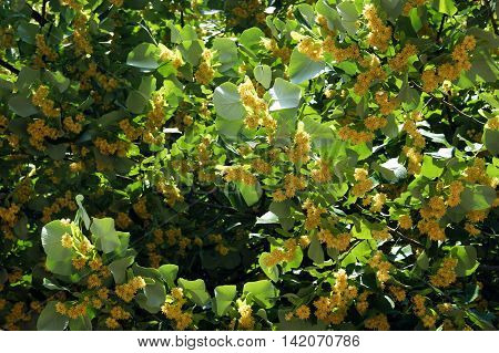 Branches of linden blossoms in the summer