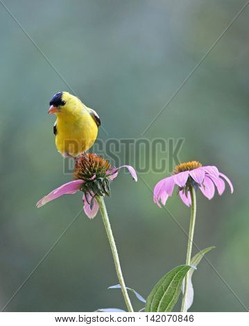 A bright yellow male goldfinch (Cardueis tristis) perching on a purple coneflower in summer