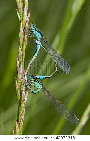 Bluetail Damselfly mating wheel close-up (Ischnura heterosticta)