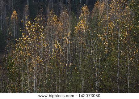 Autumn in the Forest Yellow Leaves Swaying Gently with the Wind