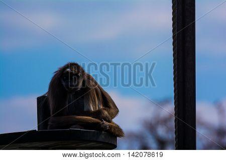 Spider Monkey Sitting on Platform Daytime Relaxing