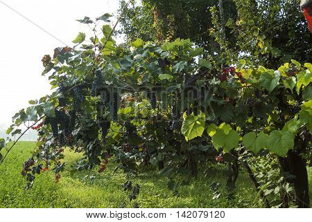 Typical Rows of vine with lambrusco grapes in plains of Emilia - Italy