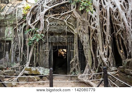 Tree roots growing through the ruins of Ta Prohm Temple at Angkor Wat in Cambodia