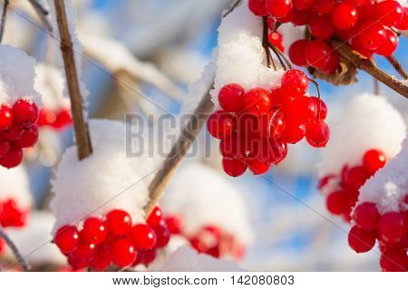 red viburnum in the snow after a snow storm. Kalina covered with a thick layer of snow