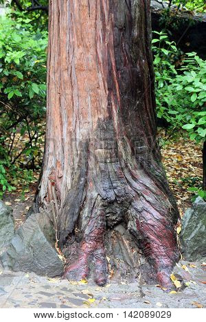 beautiful brown base of trunk of juniper tree with roots in Crimea
