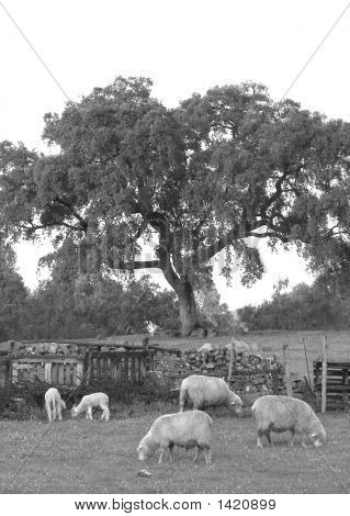 Black and white picture with sheeps in a rural farm poster