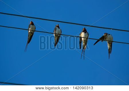 Group of birds is resting on the wires having placed