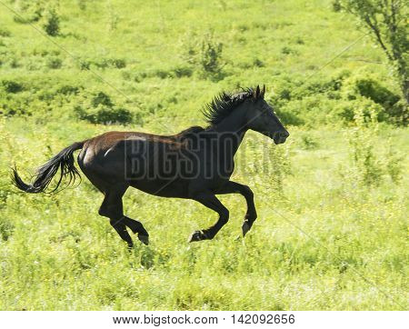 black horse with dark mane standing in a green field under a blue sky