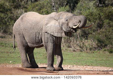 Large male African elephant drinking water with trunk in mouth