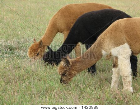 Grazing Alpaca Trio