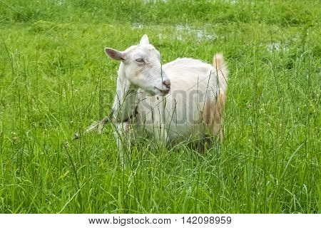 White goat in the village, pastoral views and rural animal grazing. The cattle in the pasture grazing. Horned cloven-hoofed livestock on a ranch. Goat's milk is good for health.