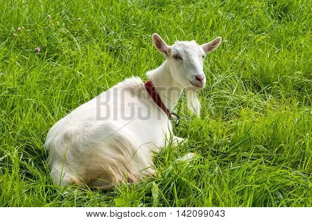 White goat on green grass. Pastoral views and rural animal grazing. Young goat in the meadow. Cattle in pasture grazing. Horned cloven-hoofed livestock on ranch. Goat's milk is good for health.