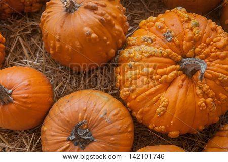 Autumn pumpkin thanksgiving background. Pumpkins at the farm