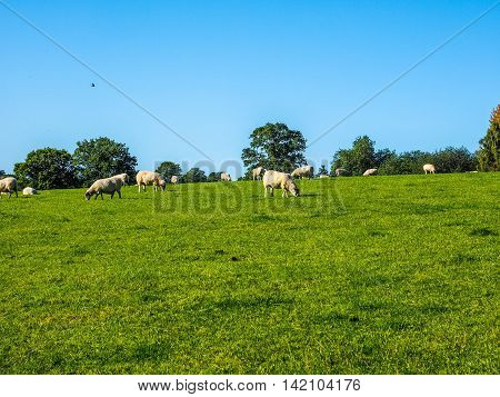 High dynamic range HDR Flock of sheep in the English countryside in Tanworth in Arden Warwickshire UK poster