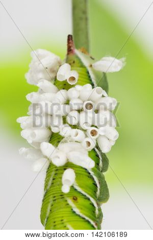 Braconid wasp pupa cocoons newly emerged from larva host.