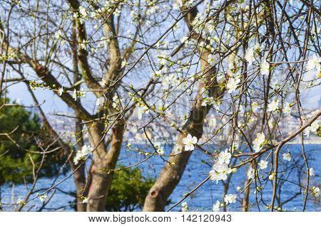 Turkey - Bosphorus Uskudar coast flowering trees spring blossoms spring flowers.
