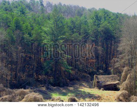 Old mountain shack succumbing to the Kudzu weed.