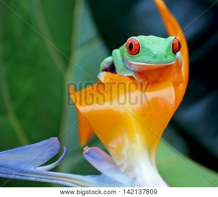 Red eye tree frog sitting on orange bird of paradise flower with green background and copy space.