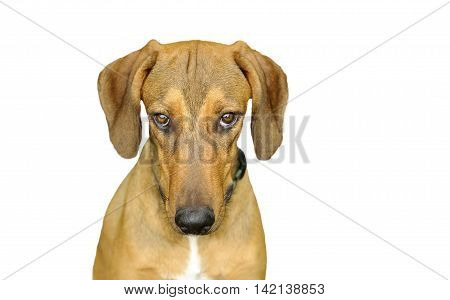Dog looking isolated on white is a beautiful dog staring with very intense eyes looking straight up at you.