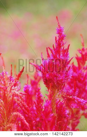 close up red wool flower or celosia