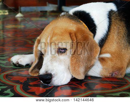 Beagle Dog so sad crop his face.