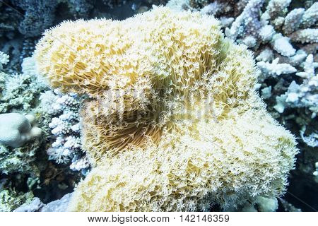Coral reef with white Pulsing polyp coral at the bottom of tropical sea underwater