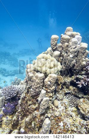 Coral reef with hard coral at the bottom of tropical sea underwater