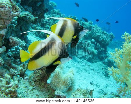 coral reef with bannerfishes at the bottom of tropical sea underwater.