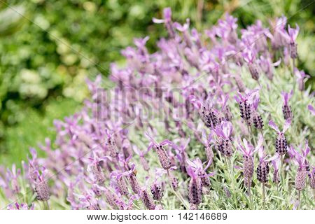 Lavender selective focus, color image, horizontaal image,