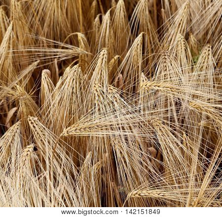 Yellow Wheat Ears In The Field